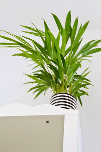 auf dem Bücherregal steht eine Palme in einem weißschwarz gestreiften Übertopf